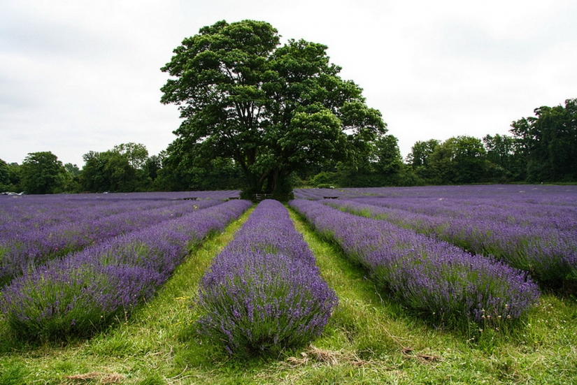 Amazing lavender fields around the world