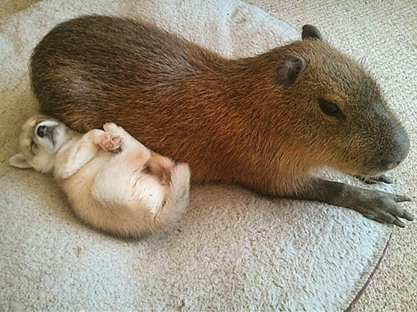 20 evidence that capybaras are the most cute and friendly animals in the world