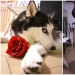 Beautiful husky that will steal your heart and won't return back