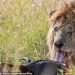 Disney Scar there: a photographer found the one-eyed lion in Kenya