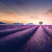 Evoking calm and sleep: photos of lavender fields in the South of France