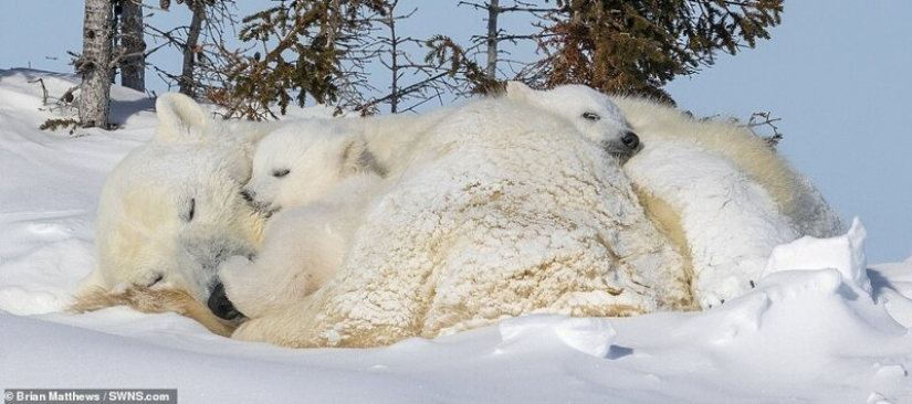 Hello, bears! The photographer was lucky to capture some stunning images of the white bear with cubs