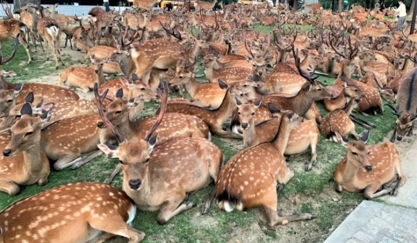 Horned phenomenon: hundreds of deer in Nara Park gather every day at the same time