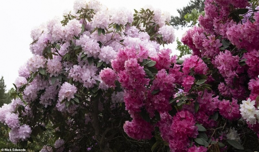 In Britain, the rhododendrons bloom and is incredibly beautiful