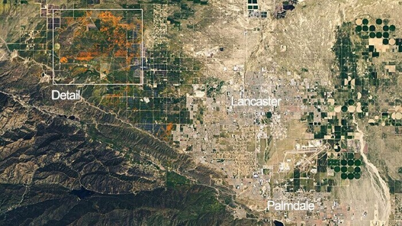 In California after a long drought flowered poppies and they can be seen even from space