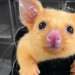Pokemon there are in Australia found yellow possum, which is so similar to Pikachu