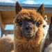 Scientists believe that to win the coronavirus will help Lama