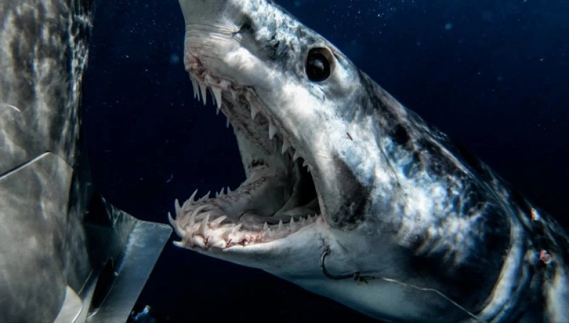 Smile of death: as the intrepid diver is in contact with sharks