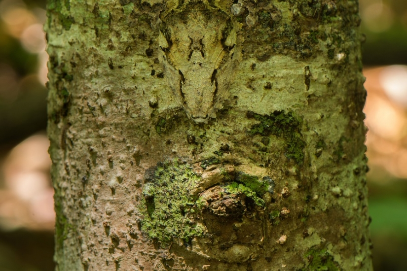 The grinning Gecko is a master of camouflage