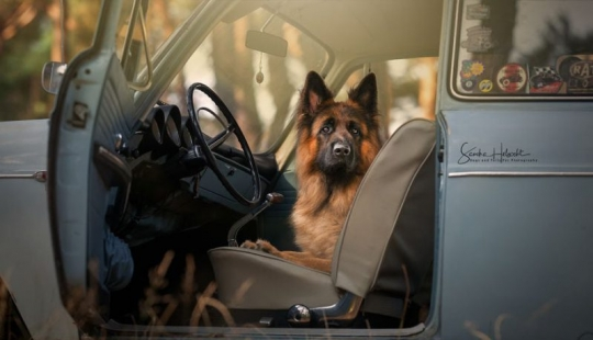 The perfect combination: dogs and vintage cars