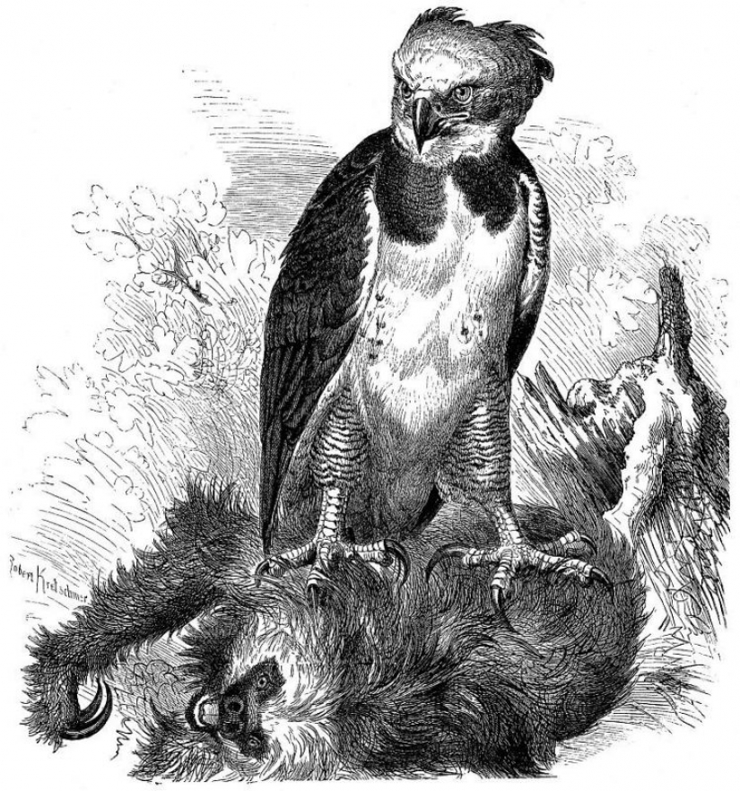 The South American harpy — a bird, the existence of which is hard to believe