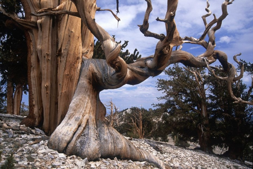 The trees, which fears the time: the oldest of Bristlecone pines more than 4.7 thousands of years