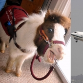 The U.S. Department of transportation was allowed to carry on Board mini-horses