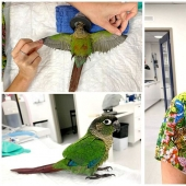 As a veterinarian from Australia sewn parrot new wings