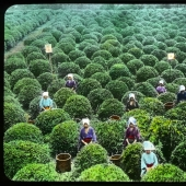 From the Bush to the consumer: how did the production of tea in Japan and the beginning of XX century