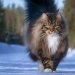Harsh cats from Finland in the winter expanses